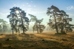 Netherlands, Otterlo. Pine trees in the rising sun at National Park 'De Hoge Veluwe' *** Local Caption *** A4+