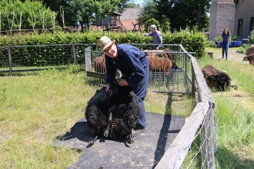 eynderhoof museum schapen scheren