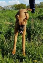 Jumping boxer