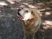 viervoetervriendelijk labrador in het bos
