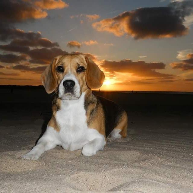 hond bij zonsondergang