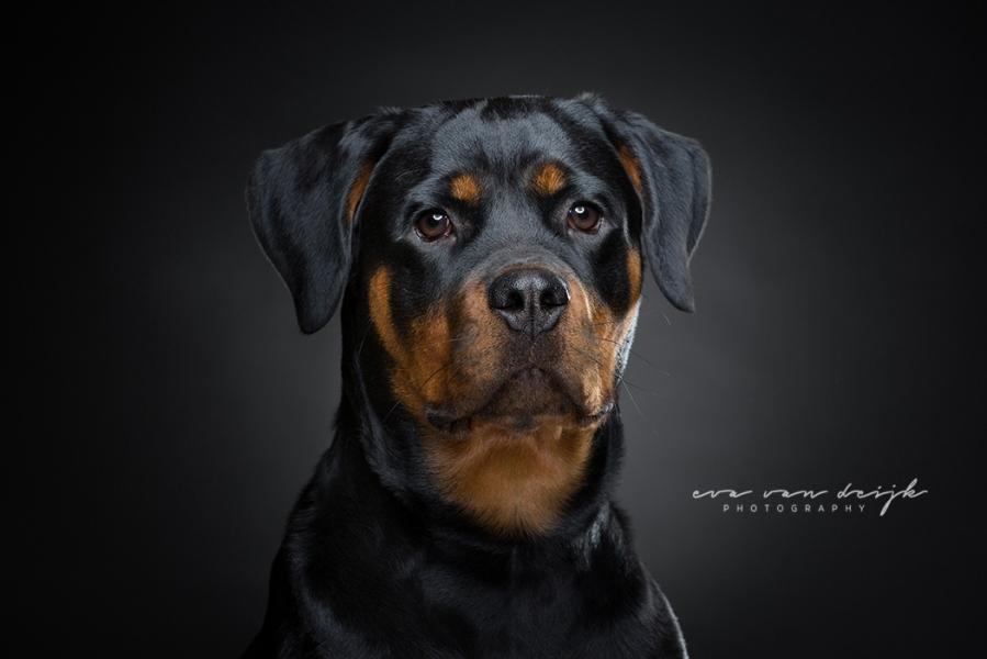 honden fotoportret op zwarte achtergrond