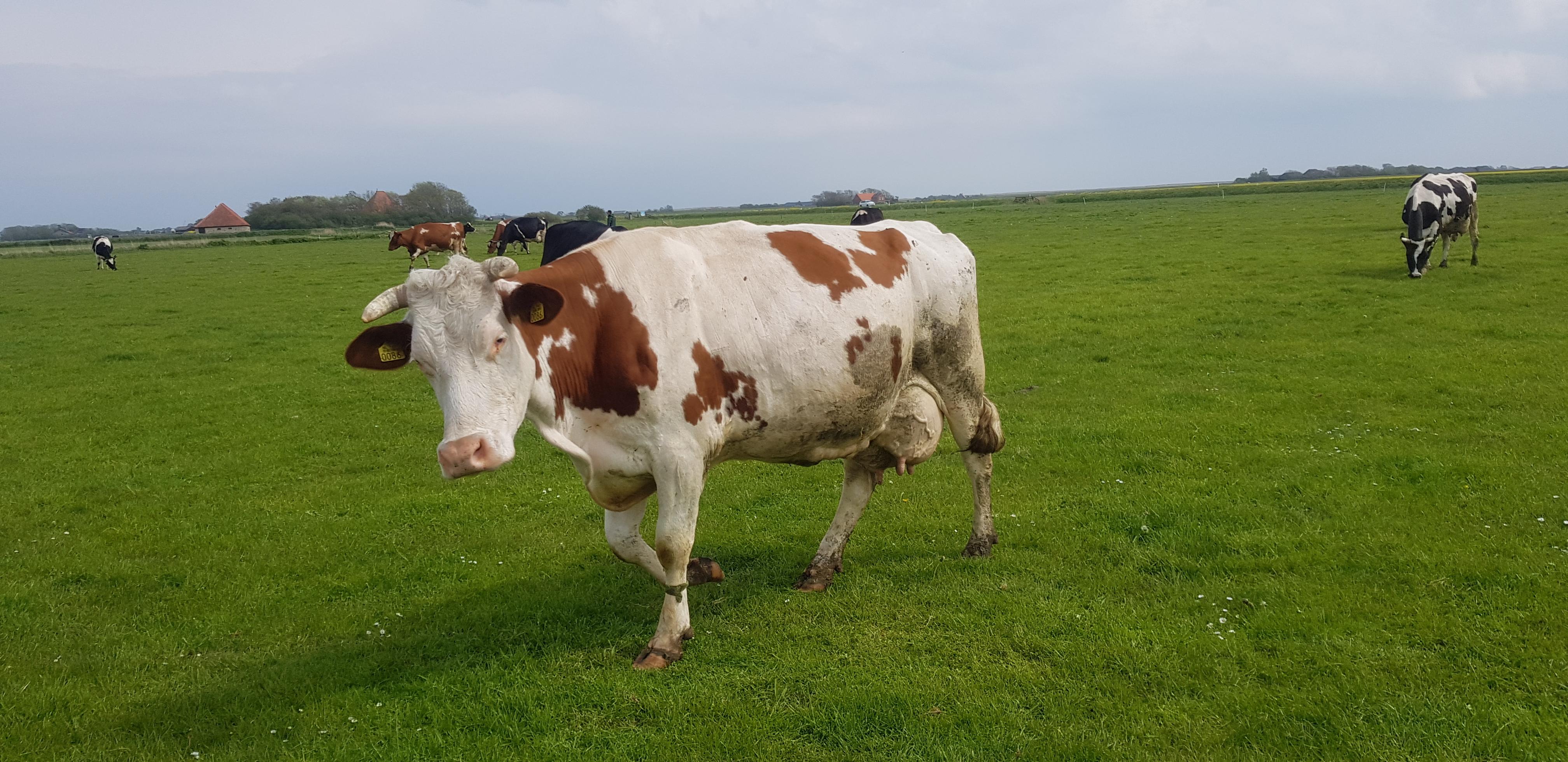 koeien bij novalishoeve texel