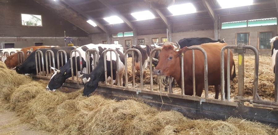 koeien in de stal novalishoeve texel