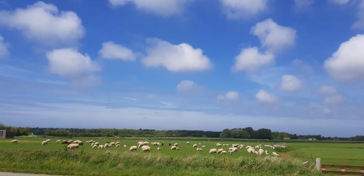 Texel schapen en wolken