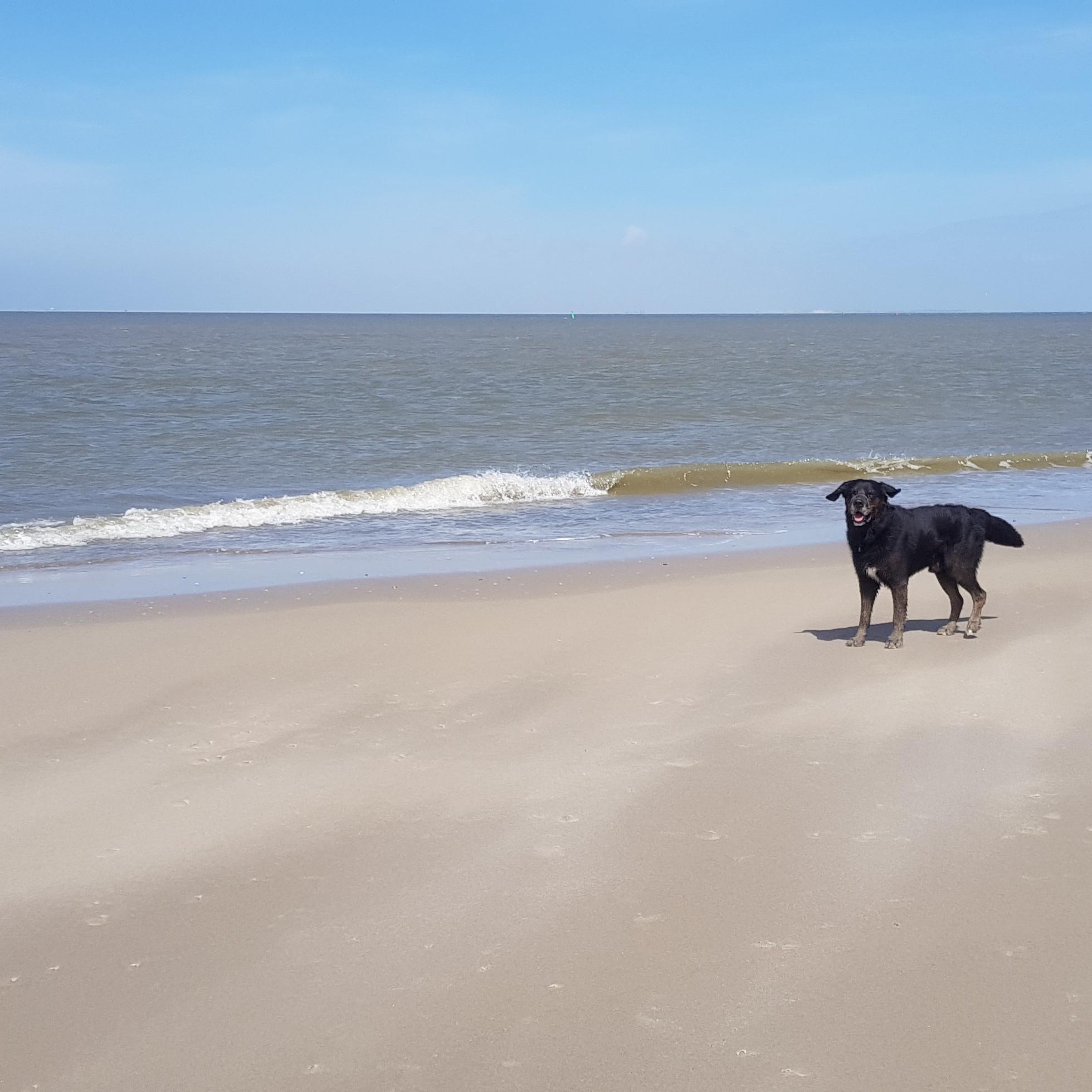 strand texel hond