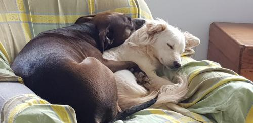 spaanse hondjes simone